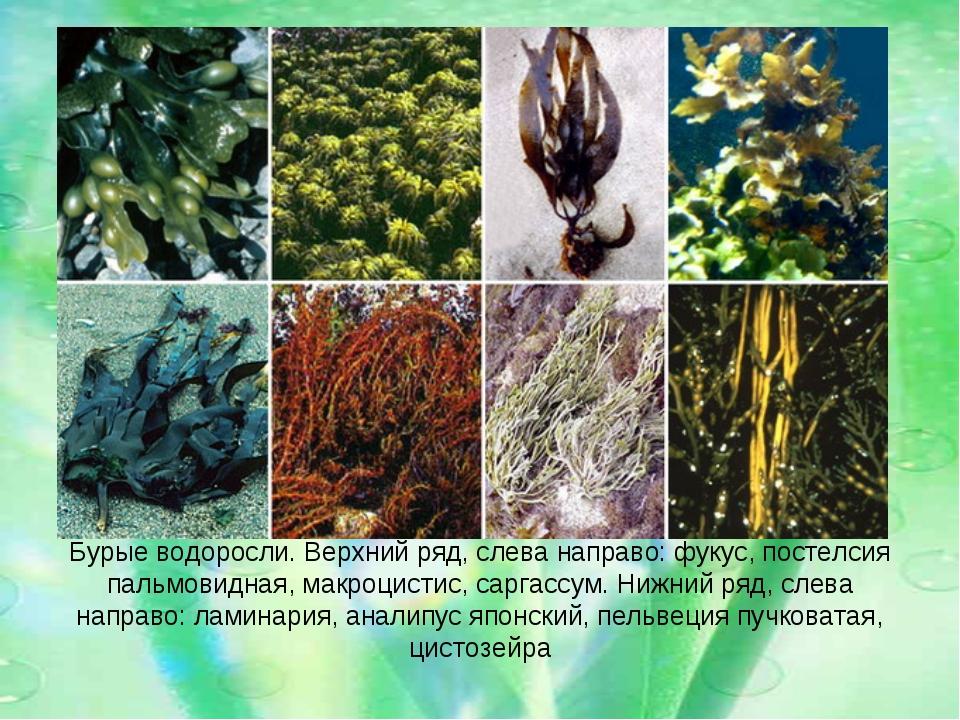 Бурые водоросли. Верхний ряд, слева направо: фукус, постелсия пальмовидная, м...