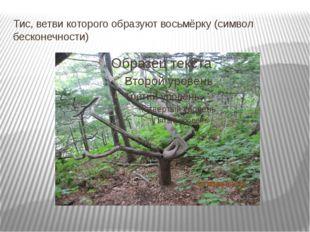 Тис, ветви которого образуют восьмёрку (символ бесконечности)