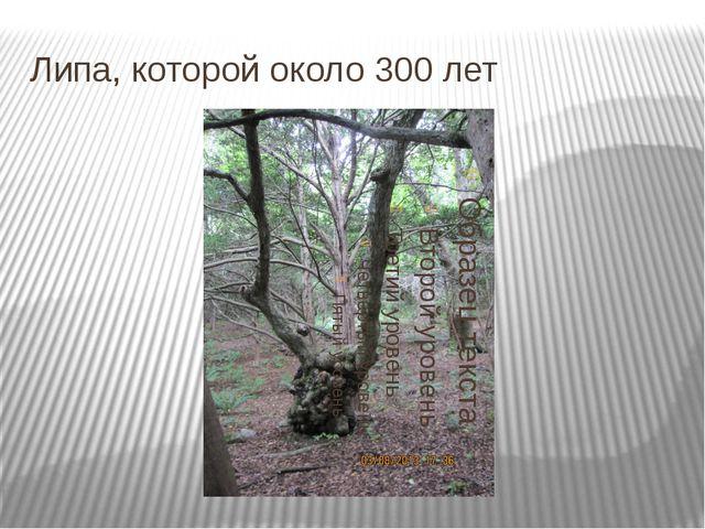 Липа, которой около 300 лет