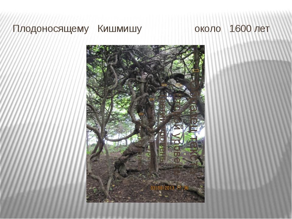 Плодоносящему Кишмишу около 1600 лет