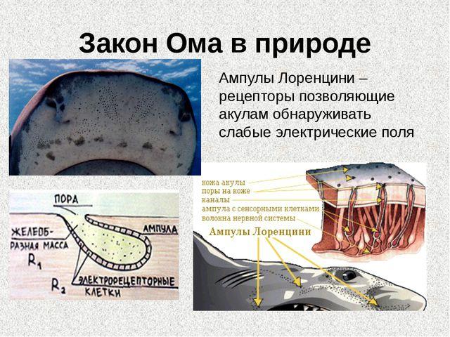 Закон Ома в природе Ампулы Лоренцини – рецепторы позволяющие акулам обнаружив...