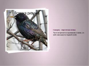Скворец – перелетная птица Часто встречается огромными стаями, а в небе они к