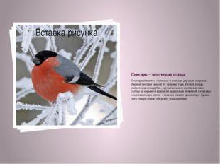 Снегирь – зимующая птица Снегири питаются семенами и почками деревьев и кусто