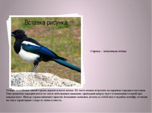 Сорока – зимующая птица Осенью и особенно зимой сороки держатся возле жилья.