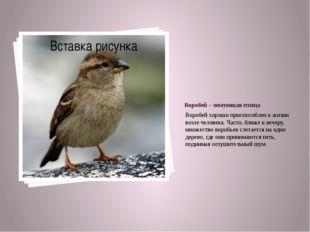 Воробей – зимующая птица Воробей хорошо приспособлен к жизни возле человека.