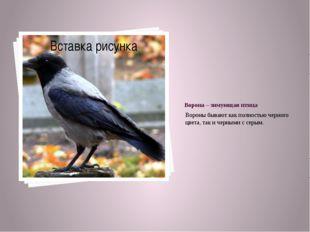 Ворона – зимующая птица Вороны бывают как полностью черного цвета, так и черн