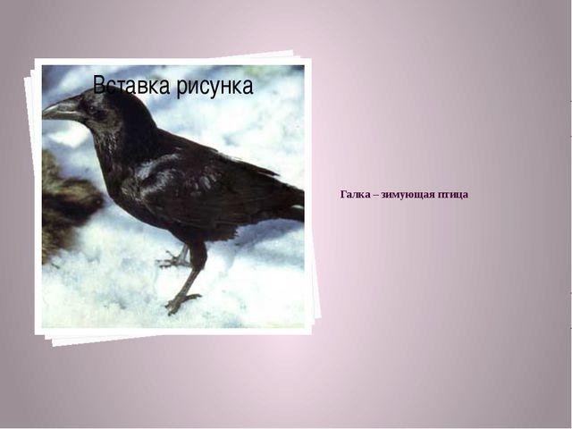 Галка – зимующая птица