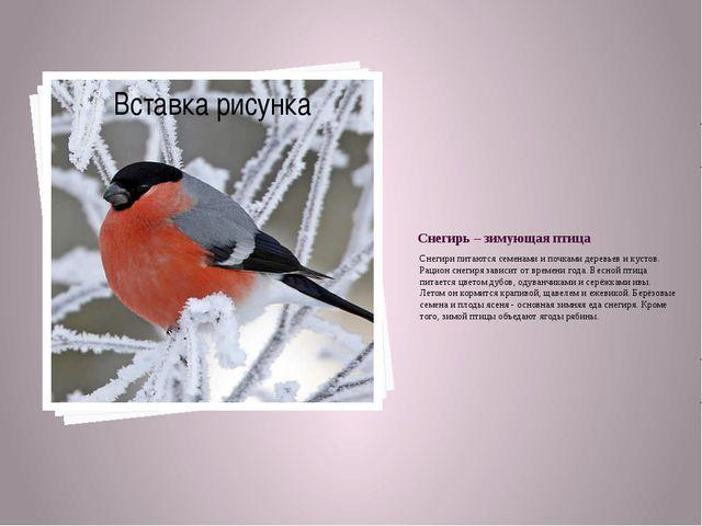 Снегирь – зимующая птица Снегири питаются семенами и почками деревьев и кусто...