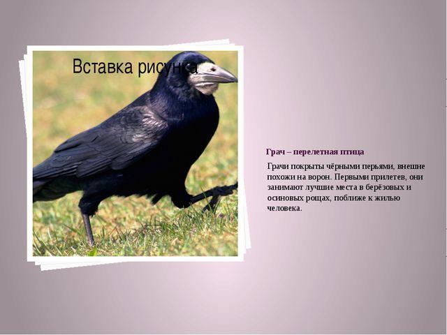 Грач – перелетная птица Грачи покрыты чёрными перьями, внешне похожи на ворон...