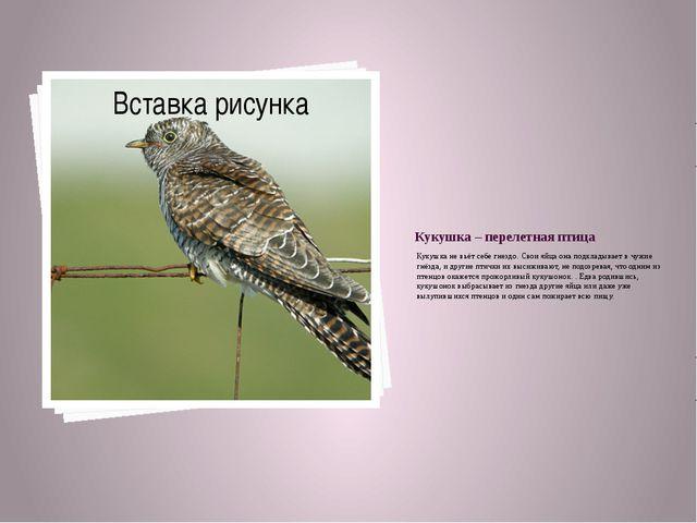Кукушка – перелетная птица Кукушка не вьёт себе гнездо. Свои яйца она подклад...