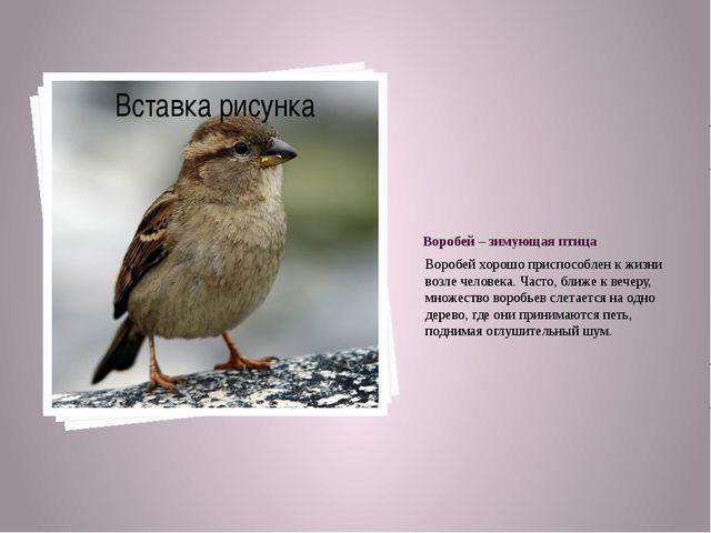 Воробей – зимующая птица Воробей хорошо приспособлен к жизни возле человека....