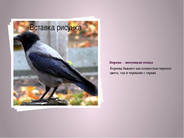 Ворона – зимующая птица Вороны бывают как полностью черного цвета, так и черн...