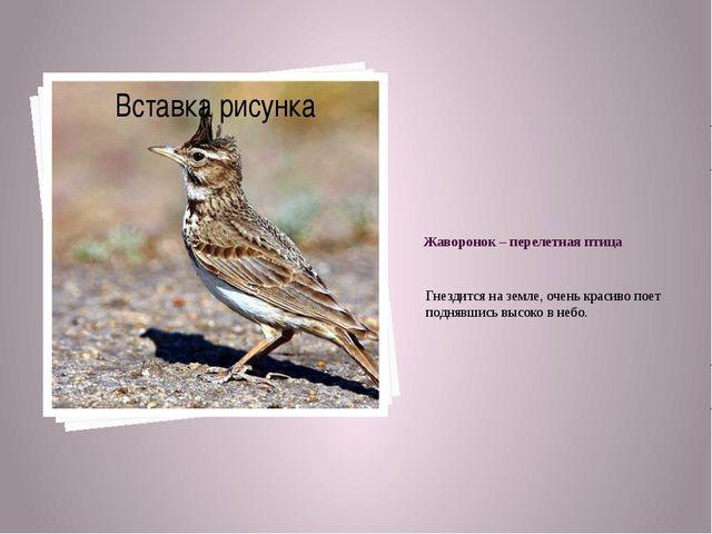 Жаворонок – перелетная птица Гнездится на земле, очень красиво поет поднявшис...