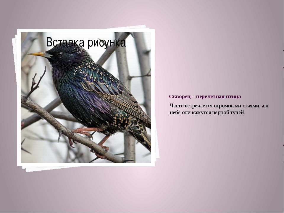 Скворец – перелетная птица Часто встречается огромными стаями, а в небе они к...