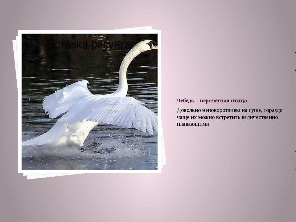Лебедь – перелетная птица Довольно неповоротливы на суше, гораздо чаще их мож...