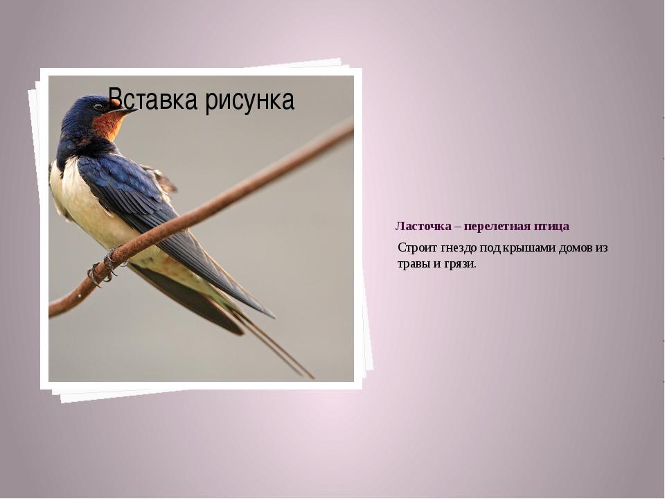 Ласточка – перелетная птица Строит гнездо под крышами домов из травы и грязи.