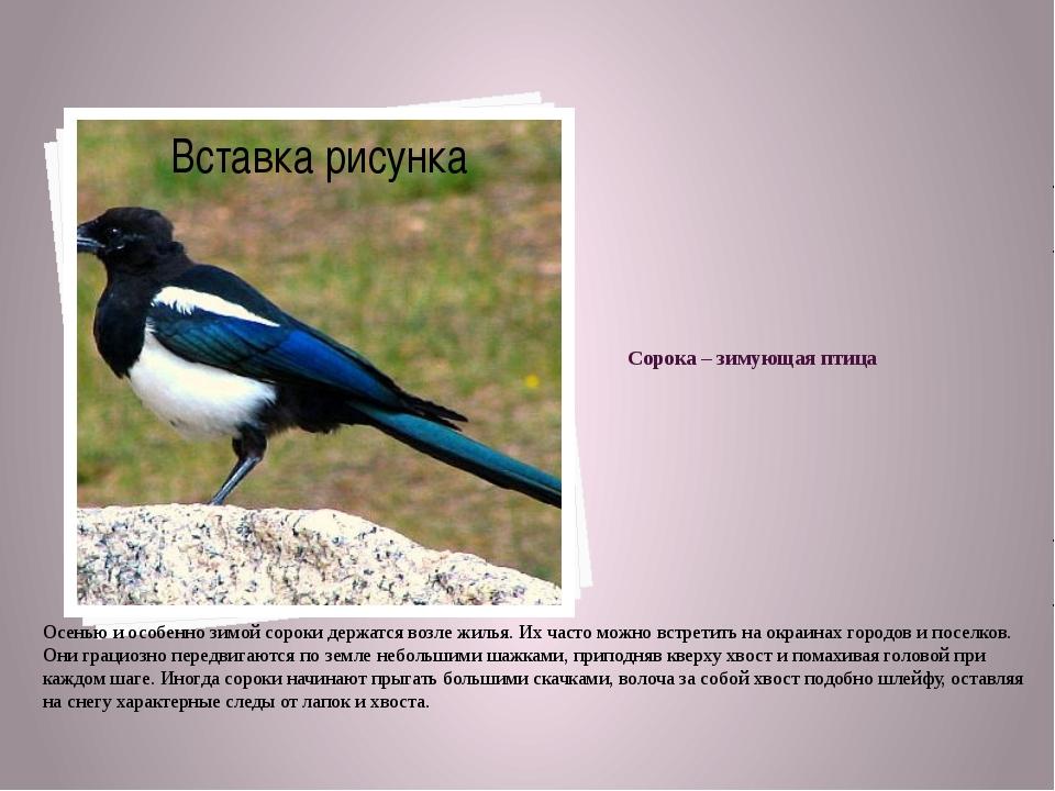 Сорока – зимующая птица Осенью и особенно зимой сороки держатся возле жилья....