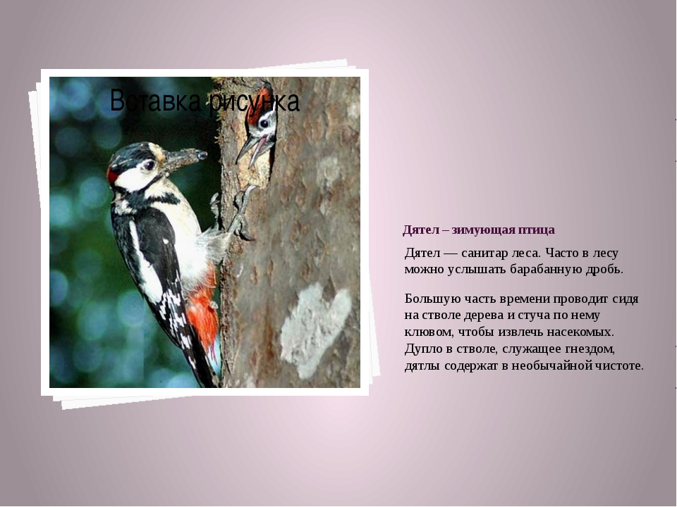 Дятел – зимующая птица Дятел — санитар леса. Часто в лесу можно услышать бара...