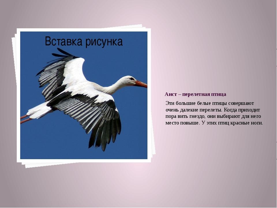 Аист – перелетная птица Эти большие белые птицы совершают очень далекие перел...