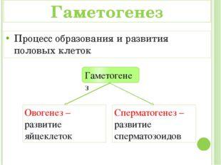 Овогенез – развитие яйцеклеток Сперматогенез – развитие сперматозоидов Гамето