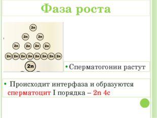 Сперматогонии растут Происходит интерфаза и образуются сперматоцит I порядка