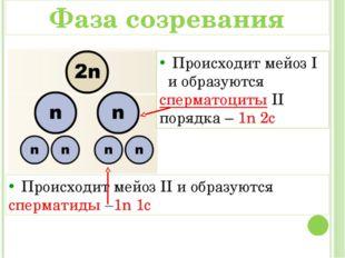 Происходит мейоз I и образуются сперматоциты II порядка – 1n 2c Происходит м