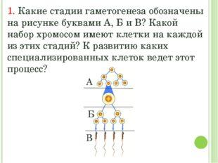 1. Какие стадии гаметогенеза обозначены на рисунке буквами А, Б и В? Какой на