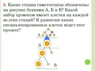 2. Какие стадии гаметогенеза обозначены на рисунке буквами А, Б и В? Какой на