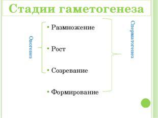 Размножение Рост Созревание Формирование Овогенез Сперматогенез Стадии гамето
