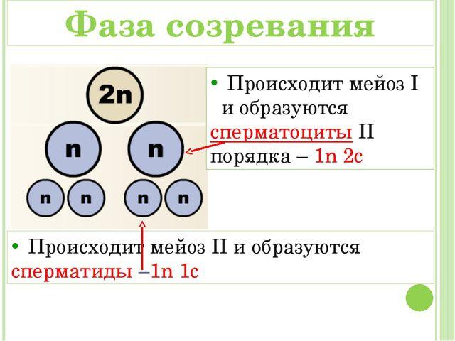 Происходит мейоз I и образуются сперматоциты II порядка – 1n 2c Происходит м...