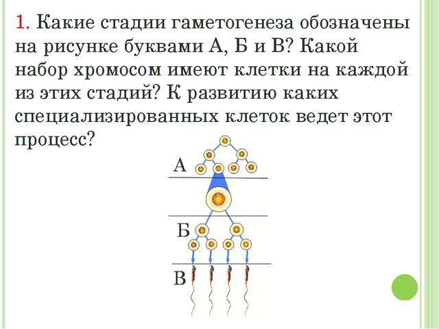 1. Какие стадии гаметогенеза обозначены на рисунке буквами А, Б и В? Какой на...