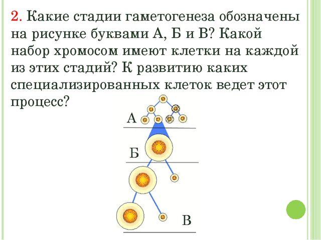 2. Какие стадии гаметогенеза обозначены на рисунке буквами А, Б и В? Какой на...