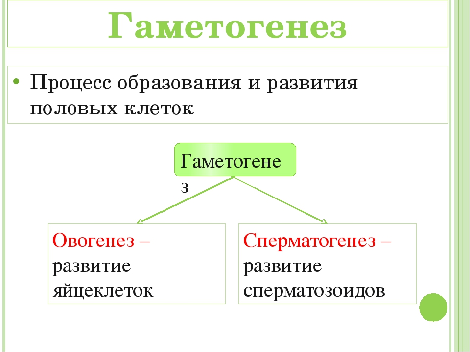 Овогенез – развитие яйцеклеток Сперматогенез – развитие сперматозоидов Гамето...