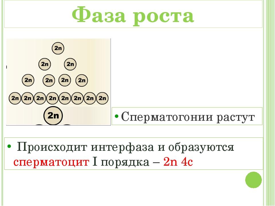 Сперматогонии растут Происходит интерфаза и образуются сперматоцит I порядка...