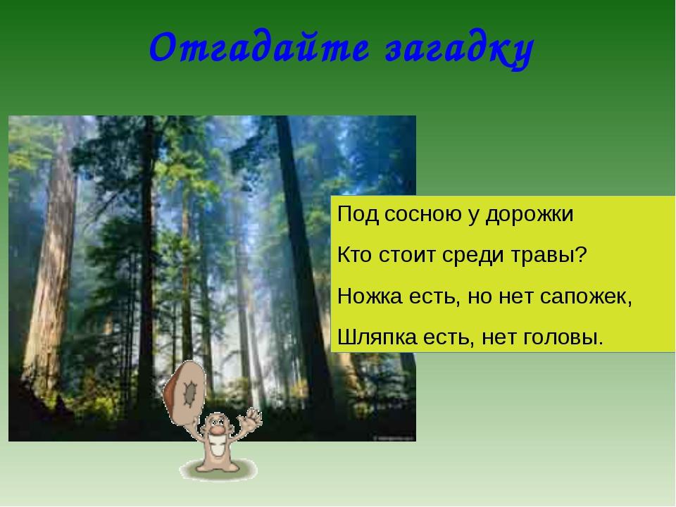 Отгадайте загадку Под сосною у дорожки Кто стоит среди травы? Ножка есть, но...