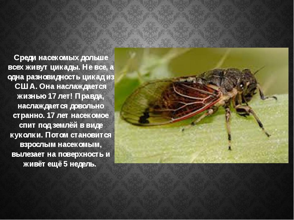 Среди насекомых дольше всех живут цикады. Не все, а одна разновидность цикад...