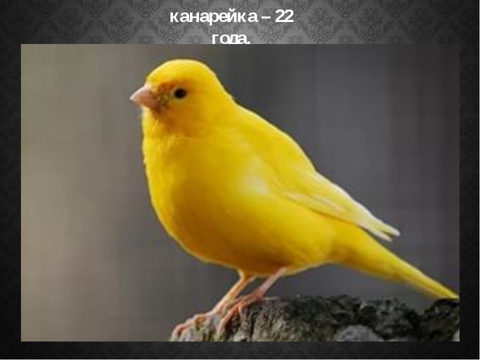 канарейка – 22 года,