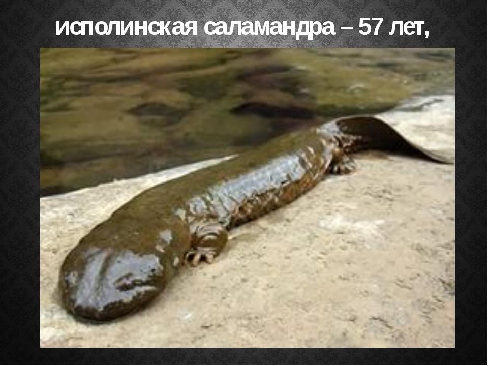 исполинская саламандра – 57 лет,