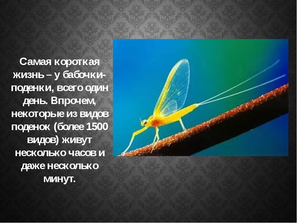Самая короткая жизнь – у бабочки-поденки, всего один день. Впрочем, некоторы...