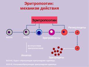Эритропоэтин: механизм действия Эритропоэтин Эритробласты Ретикулоциты БОЭ-Е