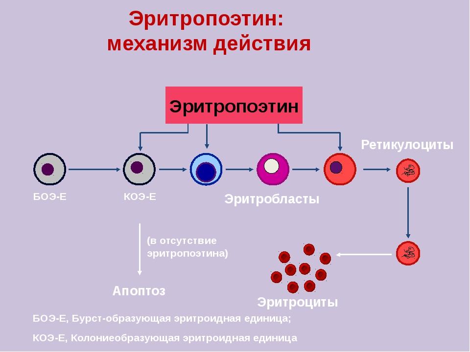 Эритропоэтин: механизм действия Эритропоэтин Эритробласты Ретикулоциты БОЭ-Е...