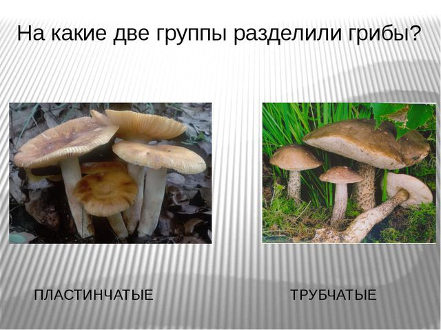 На какие две группы разделили грибы? ПЛАСТИНЧАТЫЕ ТРУБЧАТЫЕ