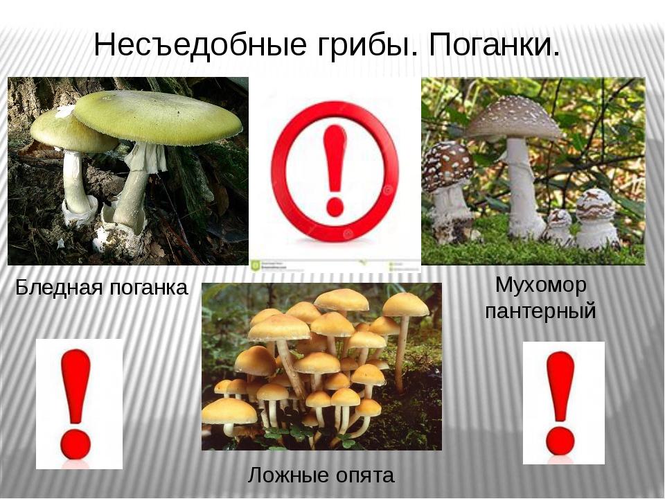Бледная поганка Ложные опята Мухомор пантерный Несъедобные грибы. Поганки.
