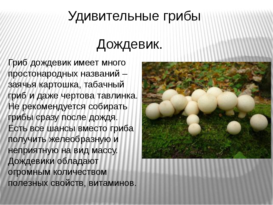 Удивительные грибы Гриб дождевик имеет много простонародных названий – заячья...