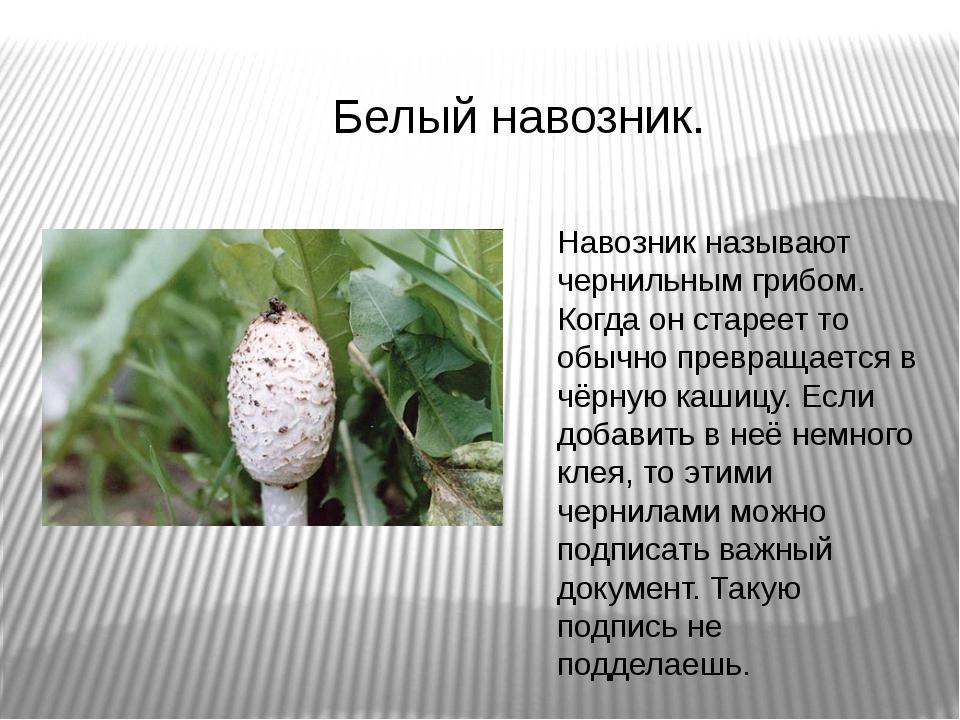 Белый навозник. Навозник называют чернильным грибом. Когда он стареет то обыч...