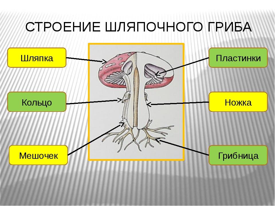 СТРОЕНИЕ ШЛЯПОЧНОГО ГРИБА Шляпка Кольцо Мешочек Грибница Ножка Пластинки