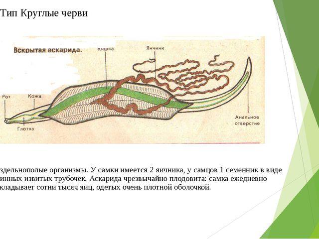 Тип Круглые черви Раздельнополые организмы. У самки имеется 2 яичника, у самц...