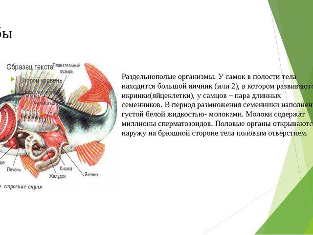 Рыбы Раздельнополые организмы. У самок в полости тела находится большой яични...