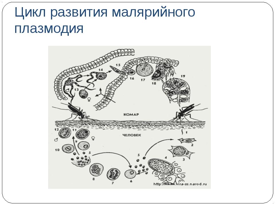 Цикл развития малярийного плазмодия