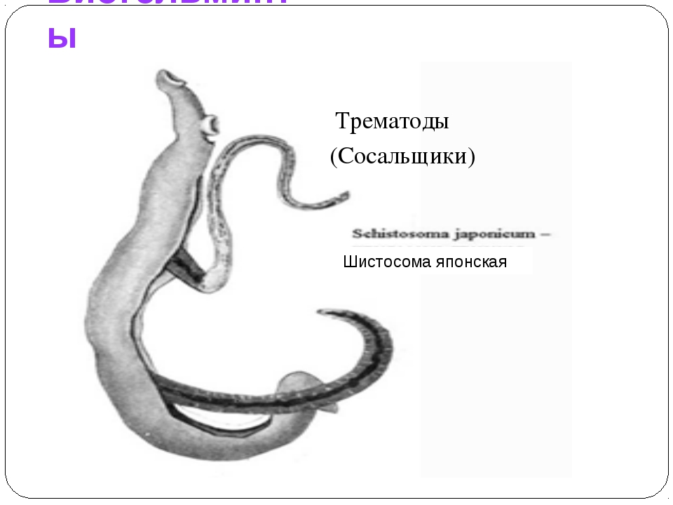 Биогельминты Шистосома японская Трематоды (Сосальщики)